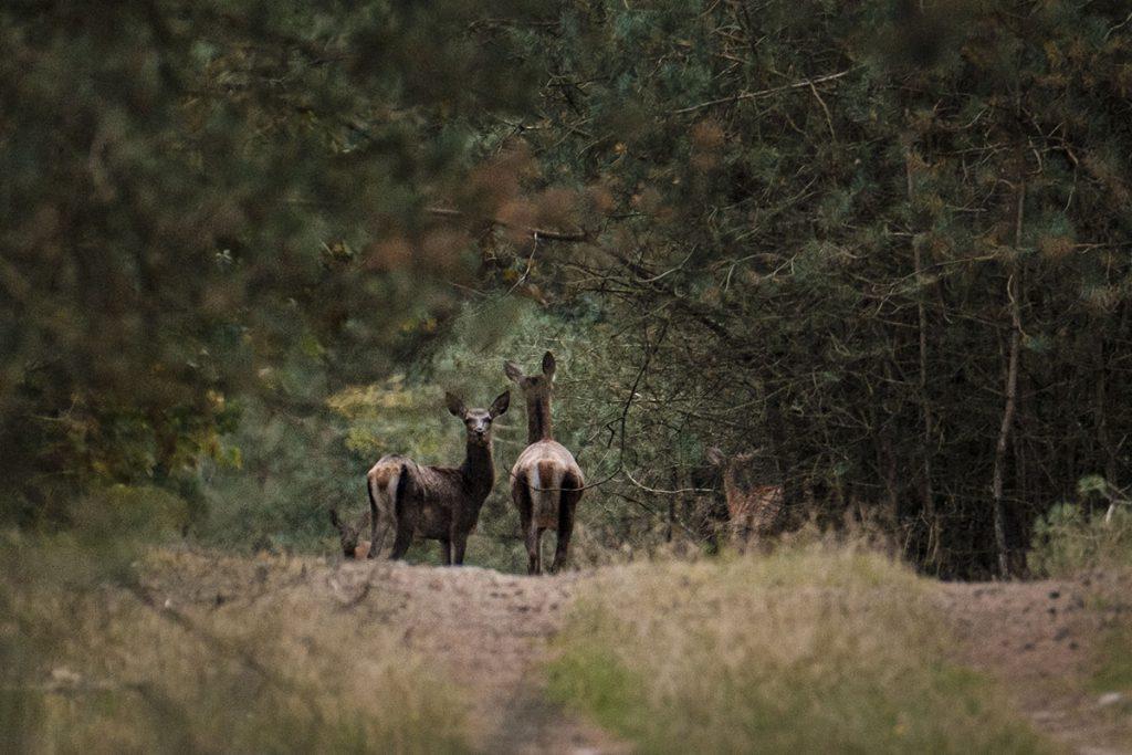 Wild spotten op de Veluwe - Reislegende.nl