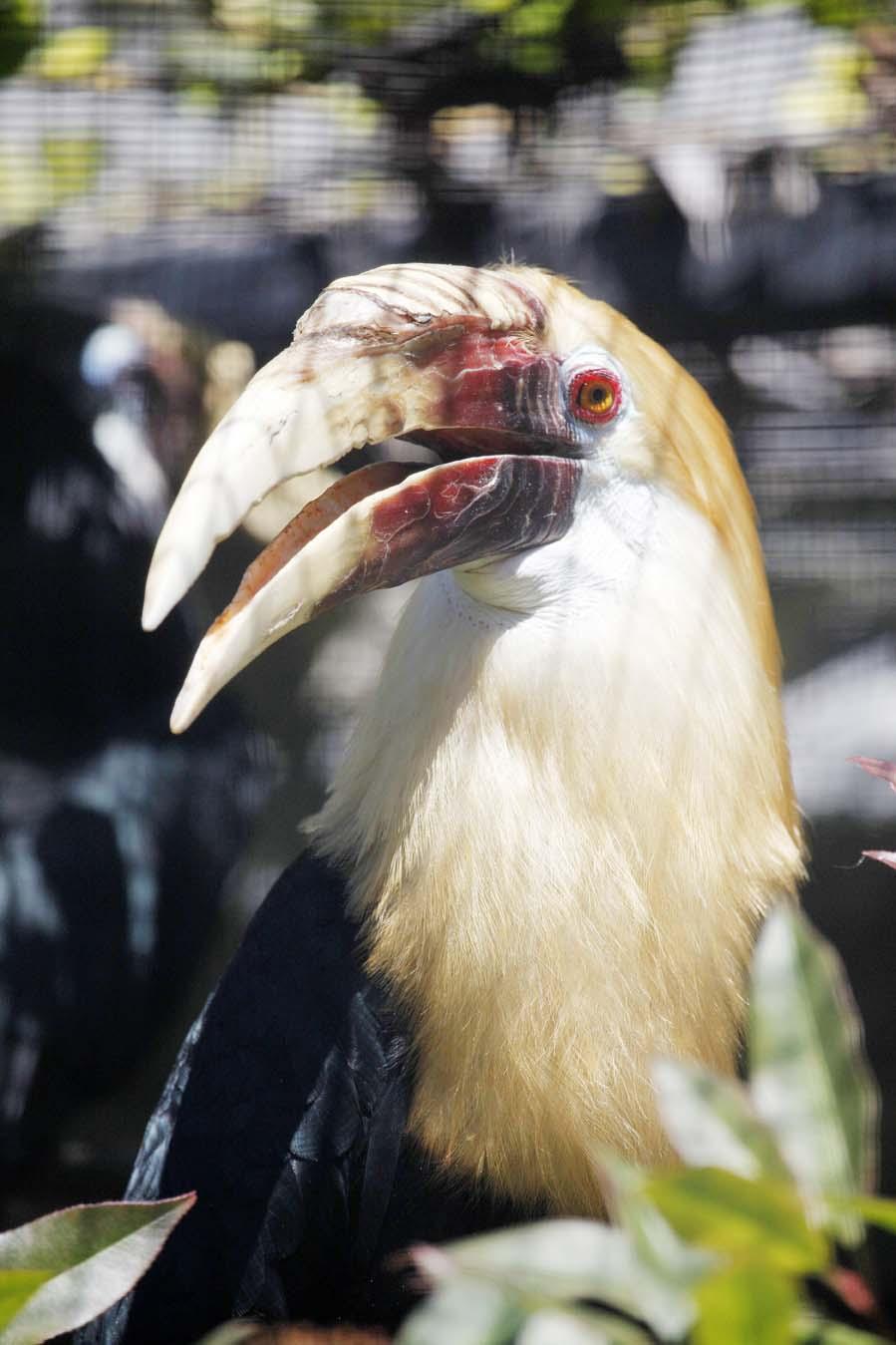 Papuan Hornbill - Rhyticeros plicatus - papoea-jaarvogel - neushoornvogel - AllinMam.com