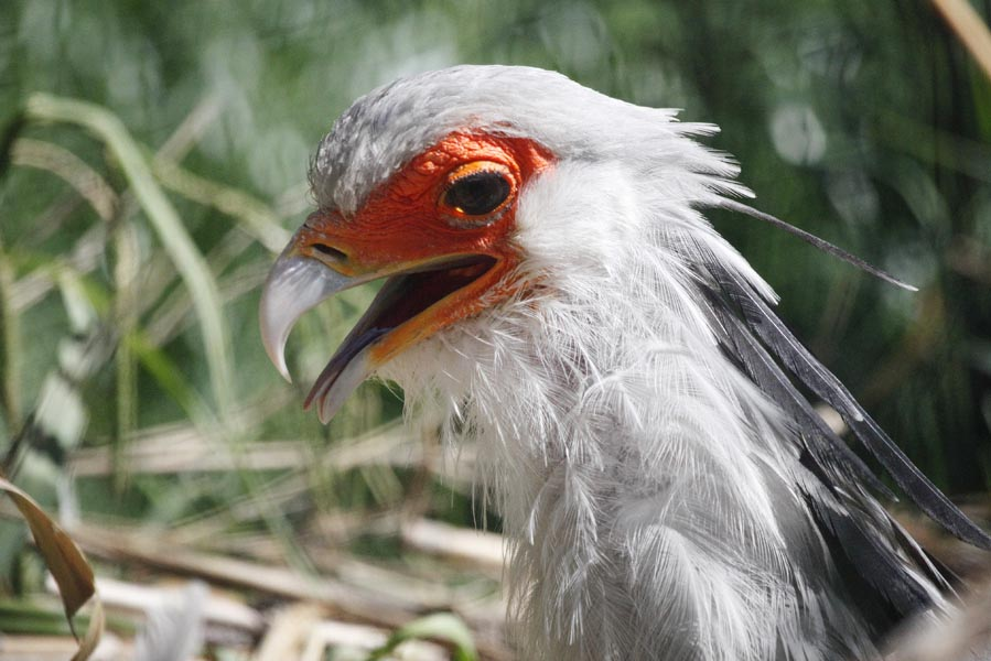 Secretary Bird - AllinMam.com