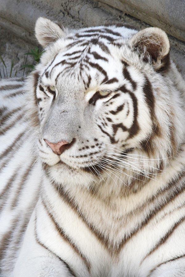 Witte tijger in Pairi Daiza - AllinMam.com