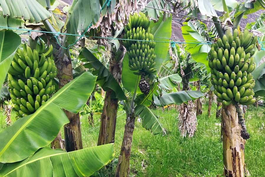 Bananen op Madeira - AllinMam.com