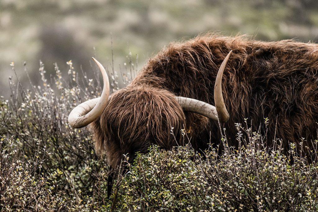 Kraansvlak, Schotse hooglanders in Kraansvlak - Op zoek naar wisenten in de Kennemerduinen - Reislegende.nl