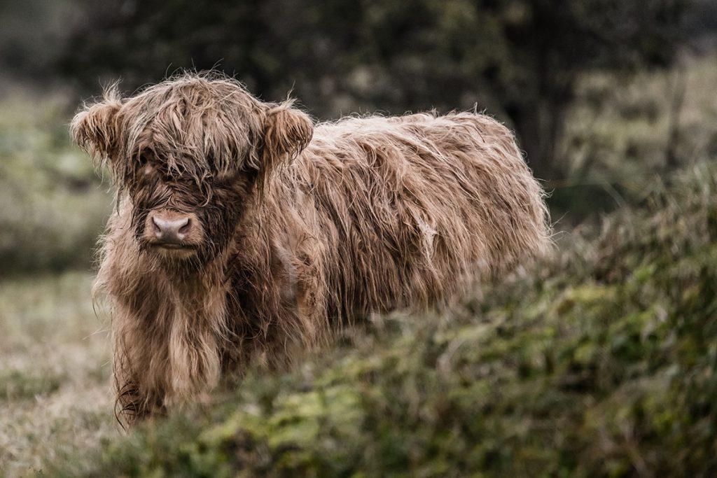 Wisentenpad, Schotse hooglanders in Kraansvlak - Op zoek naar wisenten in de Kennemerduinen - Reislegende.nl