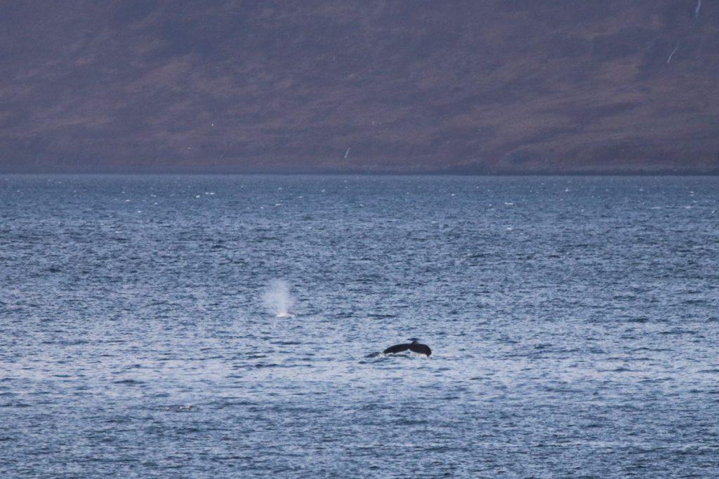 Walvissen spotten in de Westfjorden tijdens roadtrip door IJsland Reislegende - Reislegende.nl