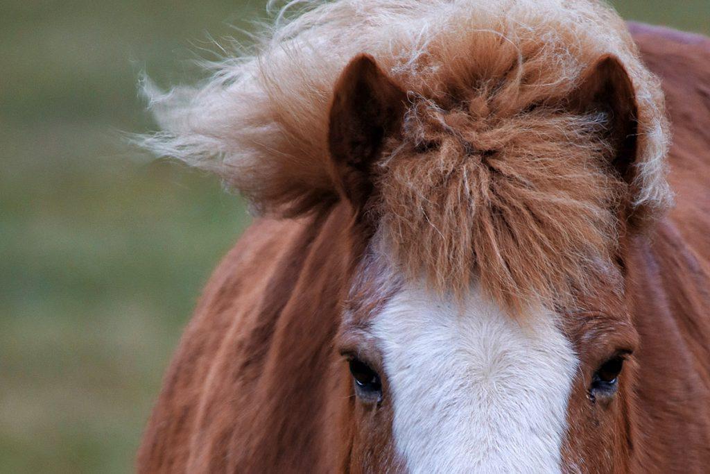 Westfjorden IJslandse paarden IJsland roadtrip Reislegende - Reislegende.nl