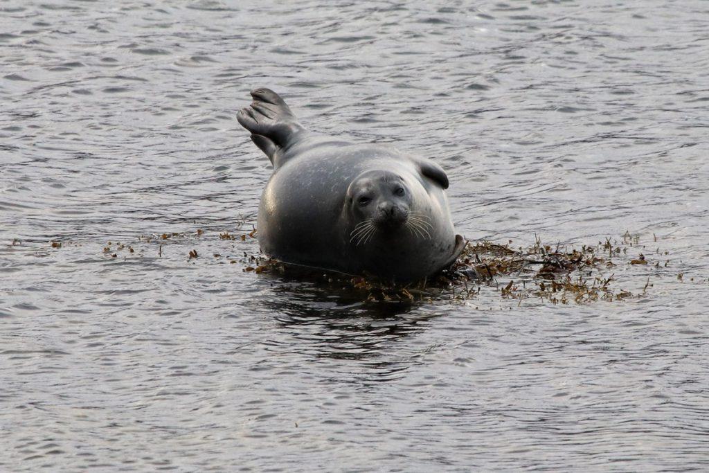 Zeehonden spotten in de Westfjorden IJsland Reislegende - Reislegende.nl