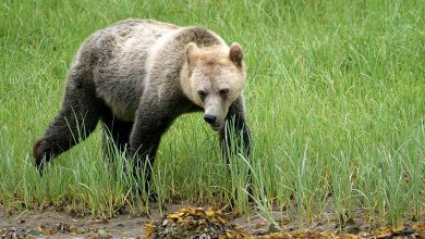 Photo of Beste plek voor grizzly's spotten in Canada: Knight Inlet