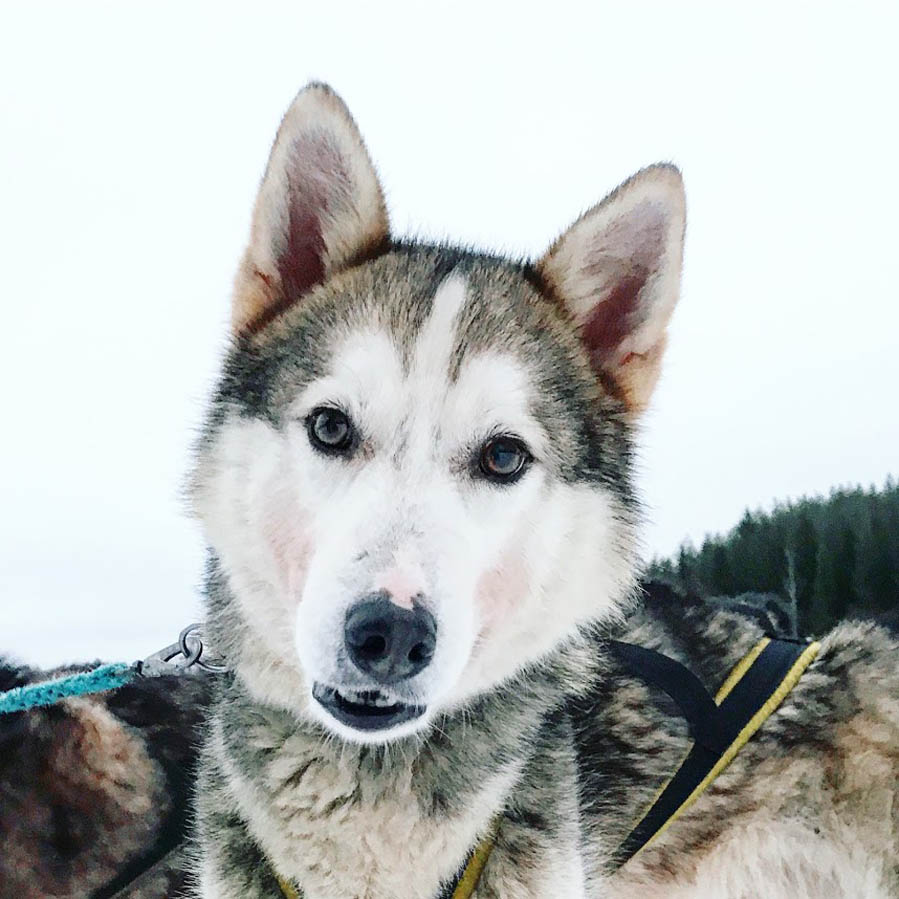 Husky sledding - AllinMam.com