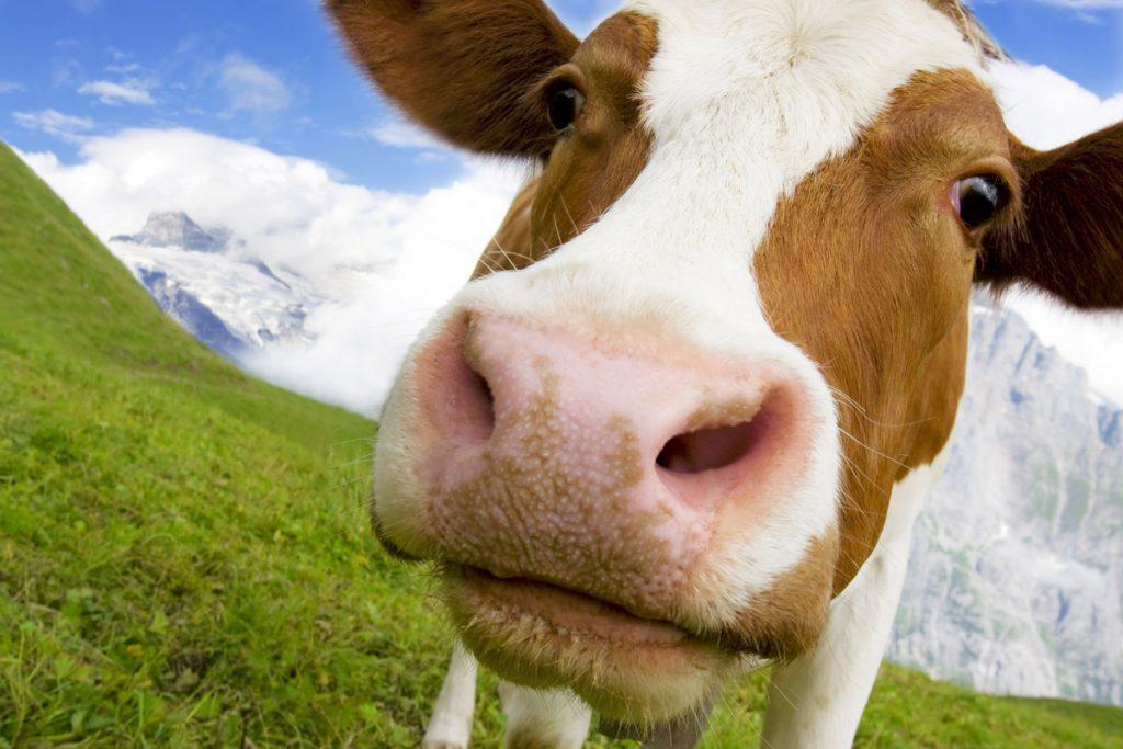Zwitserse koe - Reislegende.nl