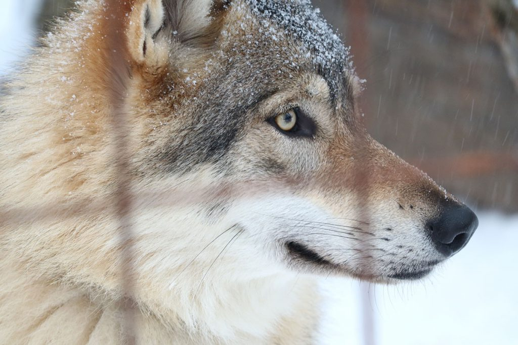 Filmwolf Finland - Reislegende.nl