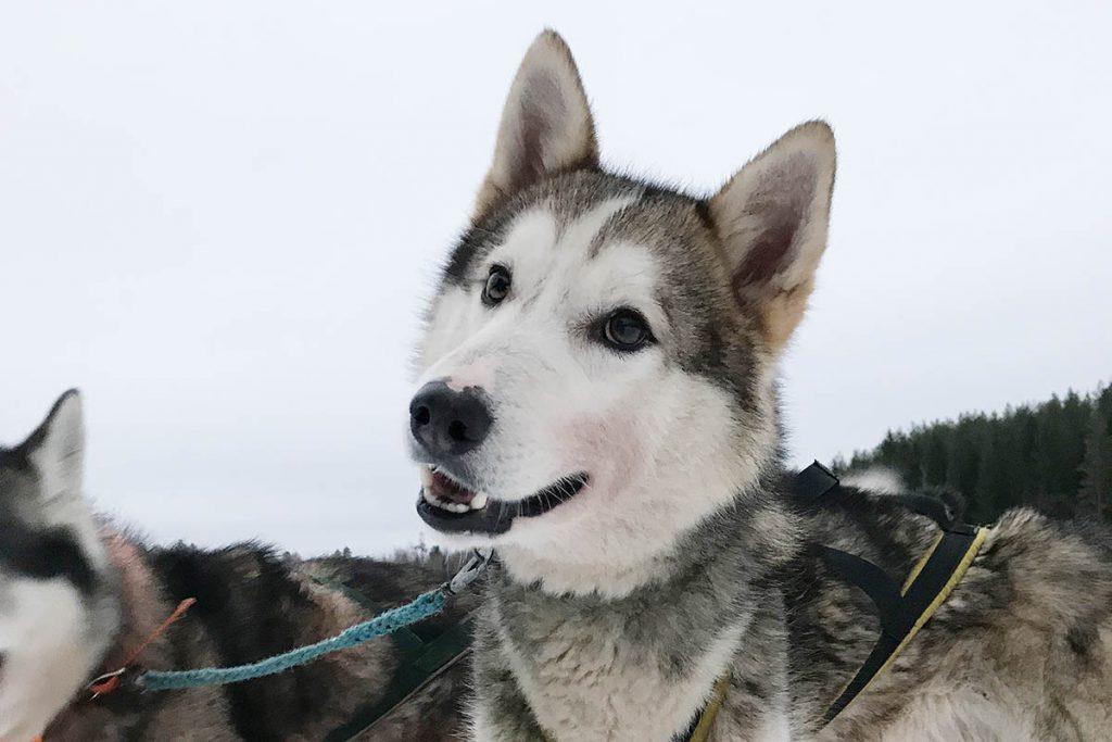 Sledetocht met huskies in zuiden van Finland - Reislegende.nl