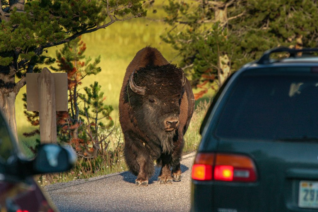 Wildlife in Yellowstone - Yellowstone National Park: 10x wat je niet mag missen - Reislegende.nl