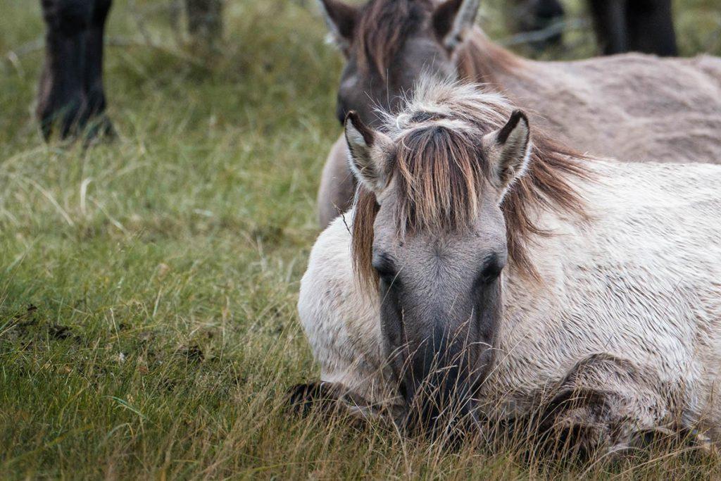 Konikpaarden in Kraansvlak - Op zoek naar wisenten in de Kennemerduinen - Reislegende.nl